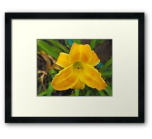 Dewy Eyed Day Lilly  Framed Print