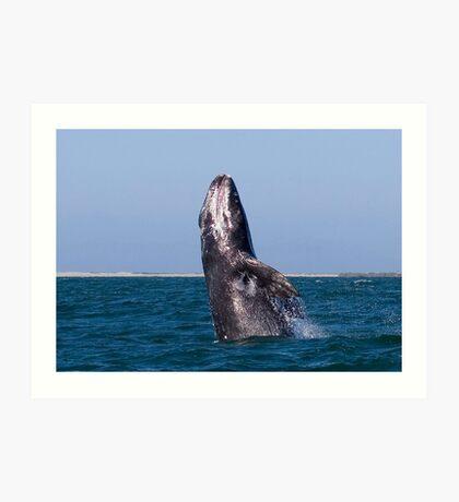 Gray Whale Breaching Art Print