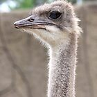 Ostrich by Selina Tour