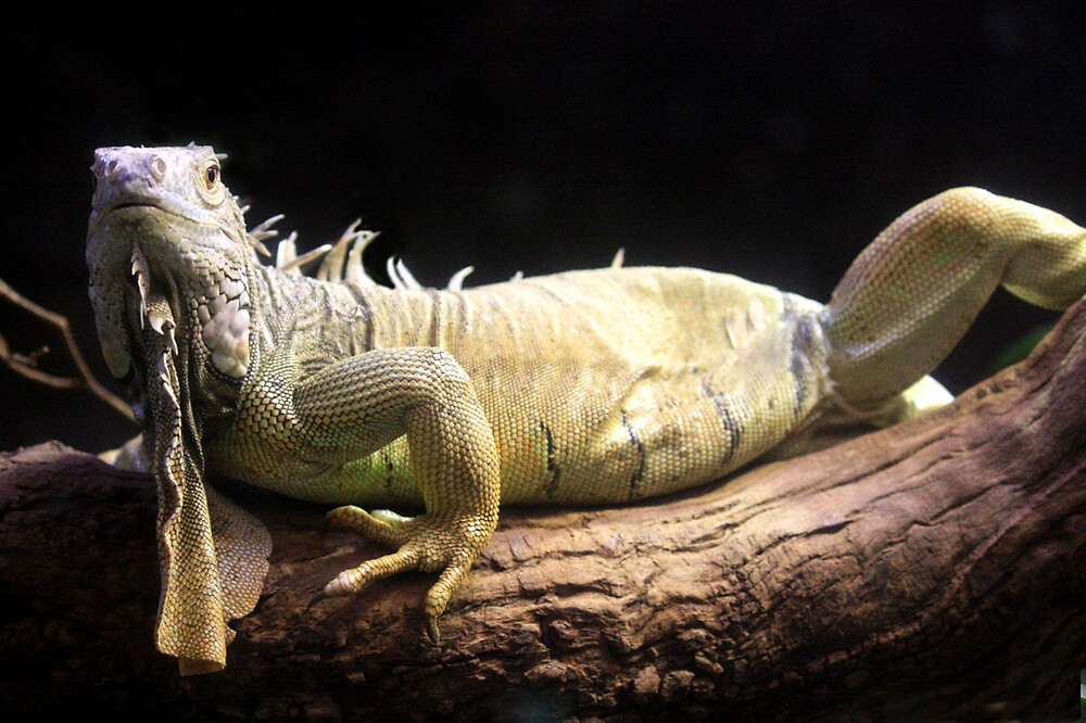 Iguana by Selina Tour