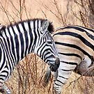 BURCHILLS ZEBRA by Magaret Meintjes