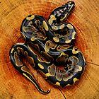 Baby Ball Python by Eric Abernethy