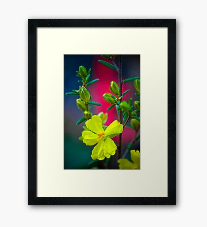 Hibbertia and Postman Framed Print