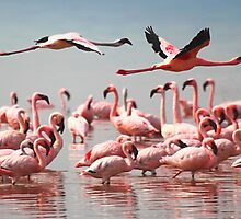 Fly Past, Lesser Flamingos, Lake Nakuru, Kenya by Carole-Anne