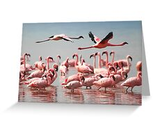 Fly Past, Lesser Flamingos, Lake Nakuru, Kenya Greeting Card