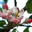 Apple Blossom by Faith Barker Photography