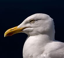 Seagull on the Ring of Dingle, Southwest Coast of Ireland by acaldwell