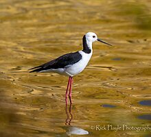 Black-winged Stilt by Rick Playle