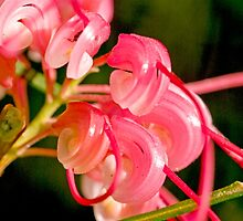 Grevillea Opening Up by Marylou Badeaux