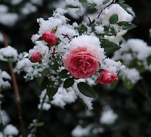Rose in the snow by Carol Smith
