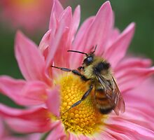 Bumble Bee On Pink Daisy Flower by SmilinEyes