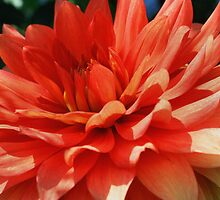 Red Dahlia Up Close by SmilinEyes