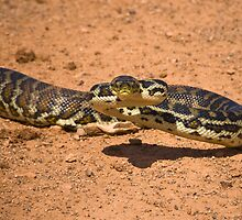 Desert Python - Western Australia by Stephen Permezel