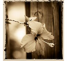 hibiscus in brown Photographic Print