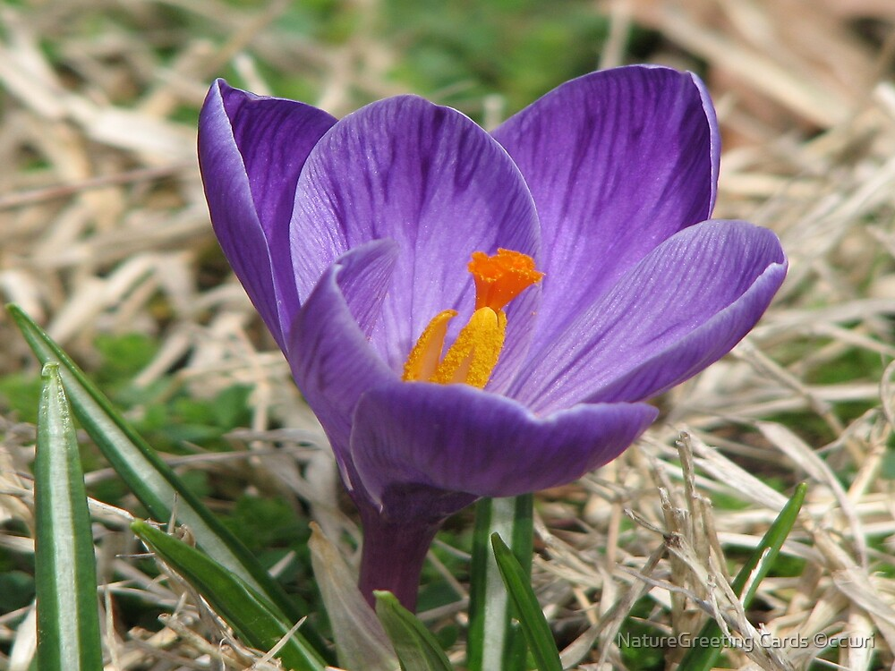 ~March Crocus~ by NatureGreeting Cards ©ccwri