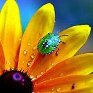 Shield bug on Rudbeckia by natureloving