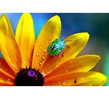 Shield bug on Rudbeckia Photographic Print