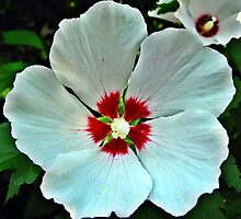 Rose of Sharon by Tracy DeVore