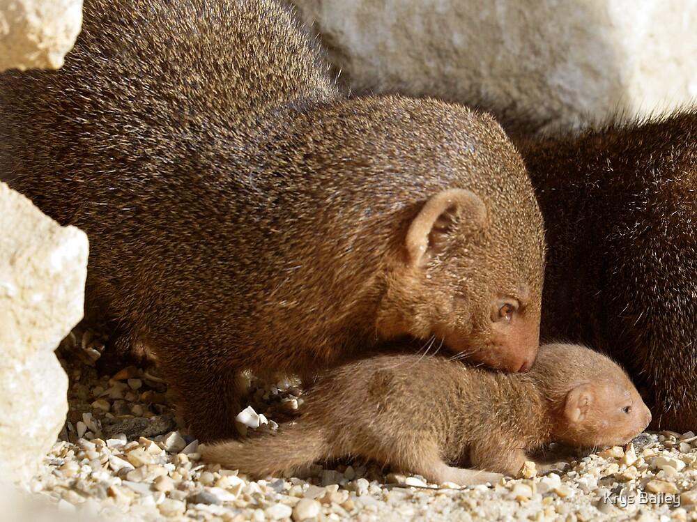 Dwarf Mongoose by Krys Bailey