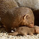 Dwarf Mongoose by Krys Bailey