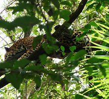 Jaguar by Braedene