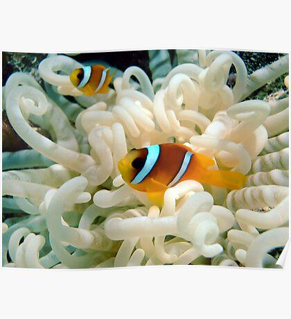 Anemone Fish Poster