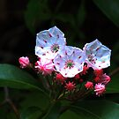 Mountain-laurel by Bob Hardy