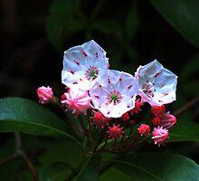 Mountain-laurel by Bob Hardy