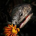 Shingleback and Gazania by Pamela Inverarity