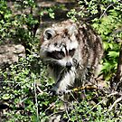 Raccoon by Teresa Zieba