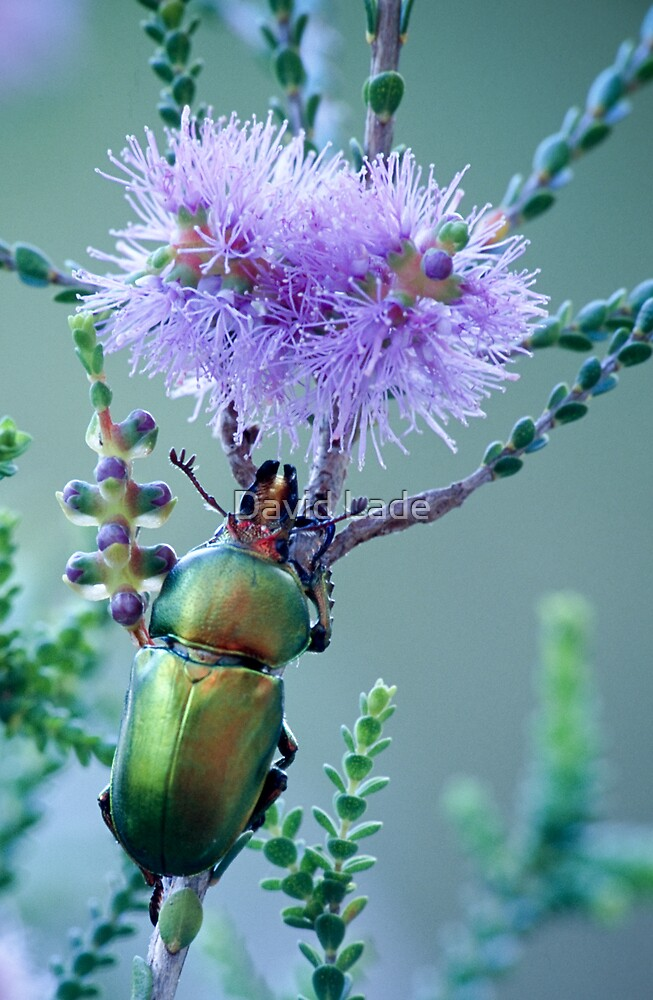 Christmas Beetle at Cosy Corner by David Lade