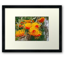 Silky Oak Framed Print