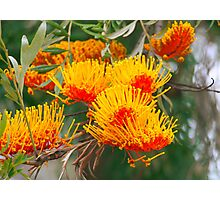Silky Oak Photographic Print