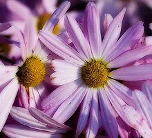 Dew Covered Daisies by Marcus Taylor