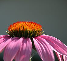 Echinacea  Purple Coneflower by mnkreations