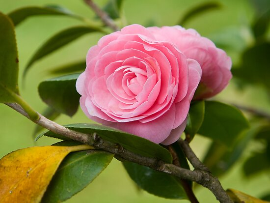 Camelia by dominiquelandau