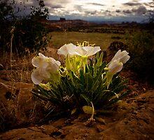 desert primrose by Rachel  McKinnie