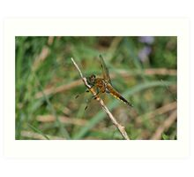 Four-Spotted Chaser Art Print