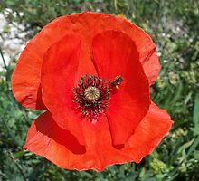 Vibrant red poppy by daffodil