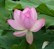 Lotus Flower in Botanic Garden of Montréal Québec by 29Breizh33