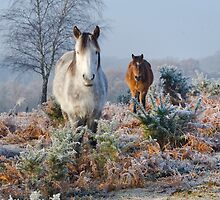 New Forest ponies on frosty morning UK by ChrisBalcombe