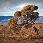Lone tree - Port Augusta by Hans Kawitzki
