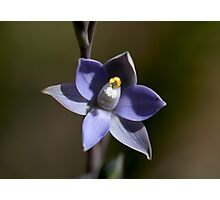 Scented Sun-Orchid Photographic Print