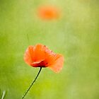 Corn Poppy by kilmann