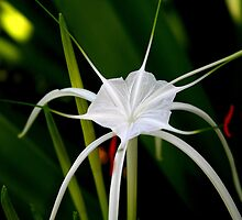 White Spider Lily by Laurel Talabere