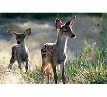 Two fawn Deer - 1838 Photographic Print