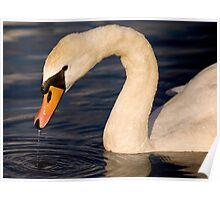Swan in Hyde Park, London, England Poster