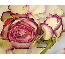 White pink roses Photographic Print