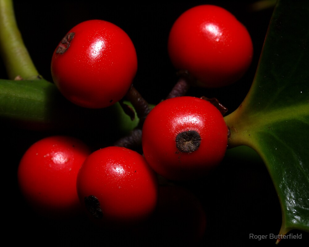 Holly Berries by Roger Butterfield