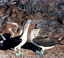 Blue Footed Booby courting in the Galapagos Islands by hannebelso